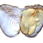 oyster.shell