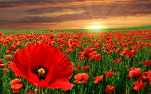 red-poppy-flowers-1280x800